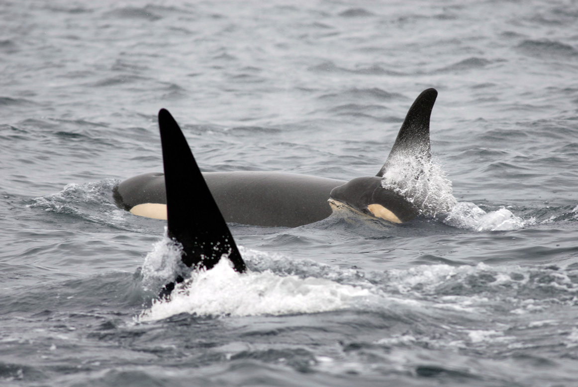 Another Baby Orca for 2015!