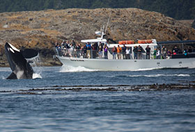 Orca Whale Watching with San Juan Safaris in the San Juan Islands