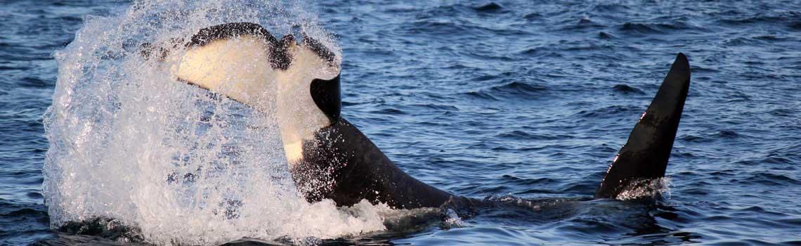 orca_tail_slap