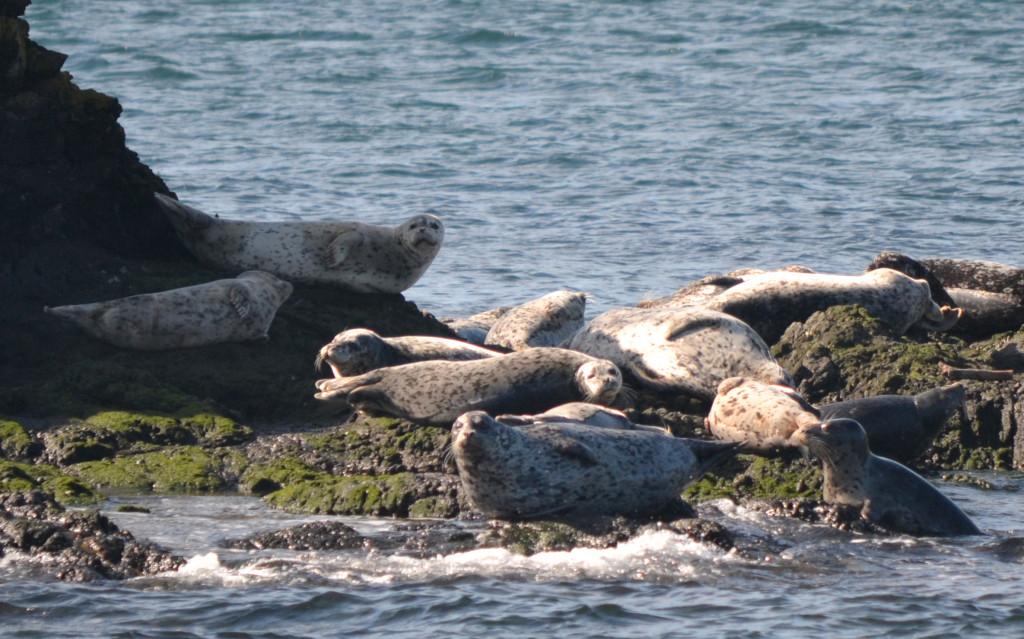 Harbor seals in the Salish Sea