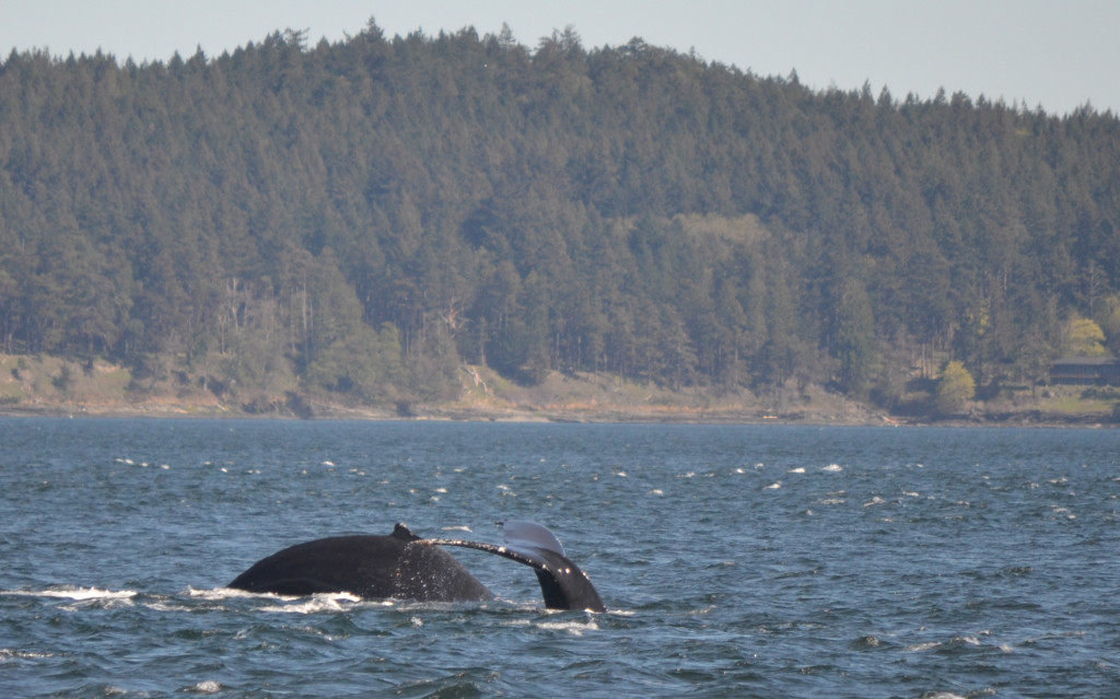Humpback whales in the Salish Sea