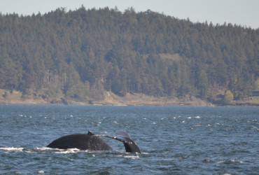 Humpback whales in the Salish Sea