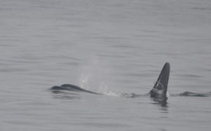 Orca J34 breathing