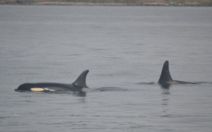 Orcas north of Seattle
