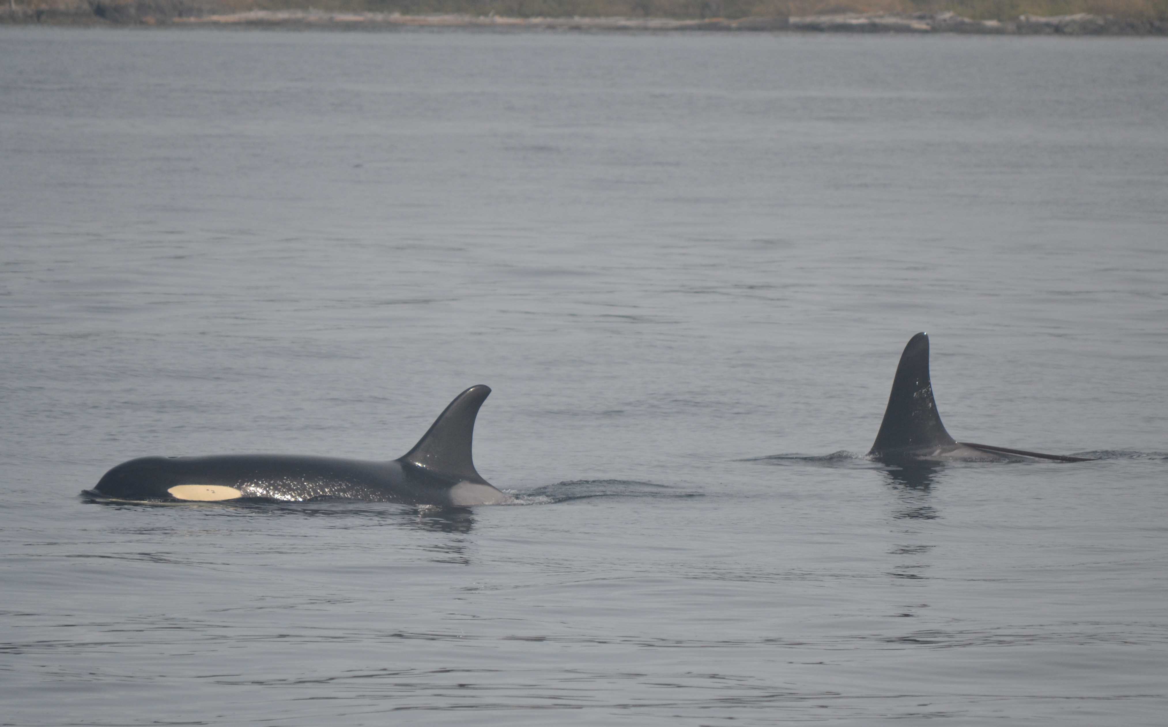 First of Spring Whales – SRKW near San Juan Island