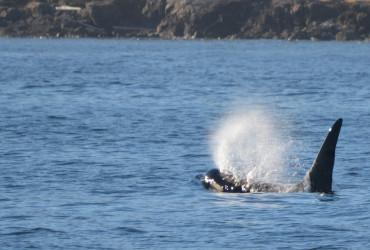Orca near San Juan Island, WA