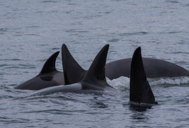 Transient Orca Family T137 swims together in San Juan Channel
