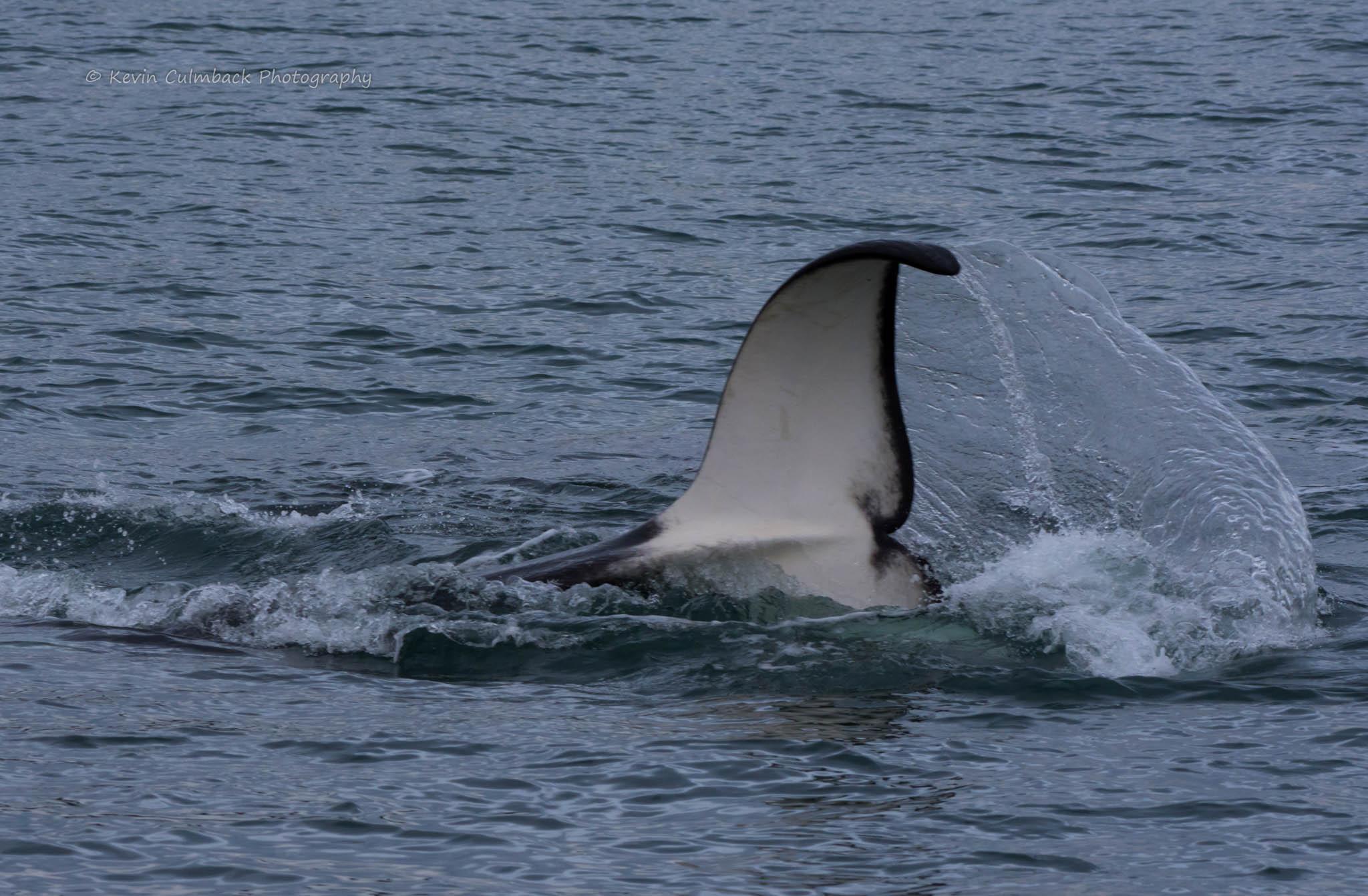 Playtime for Bigg's Killer Whales near Stuart Island