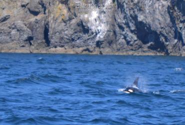 Orcas of J-pod play near San Juan Island