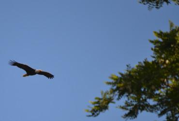 San Juan Island Bald Eagle