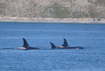 Three female killer whales at the surface