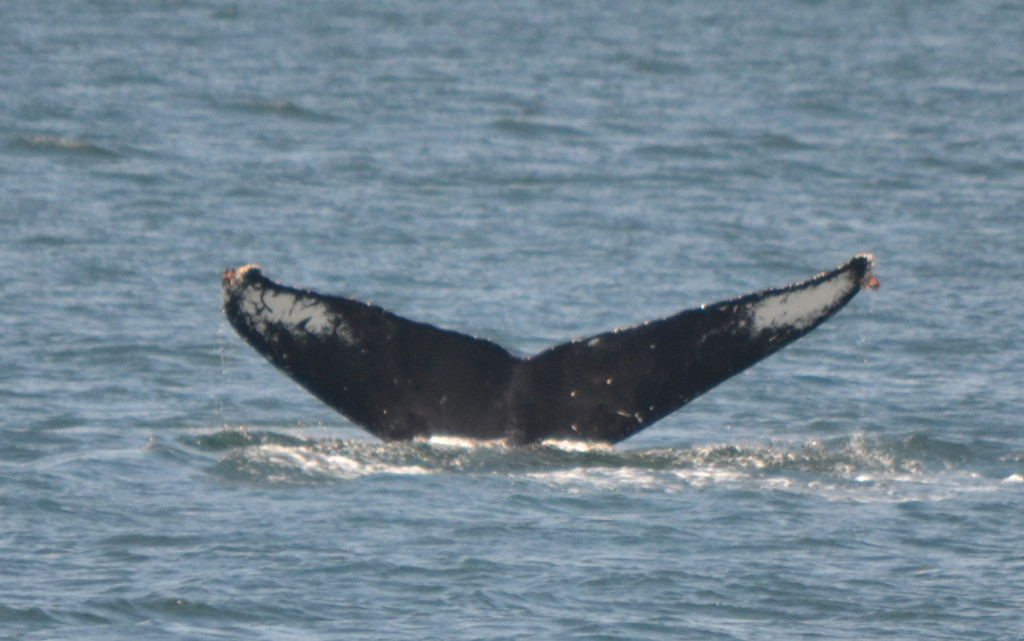"""Humpback whale BCY0160 """"Heather"""""""