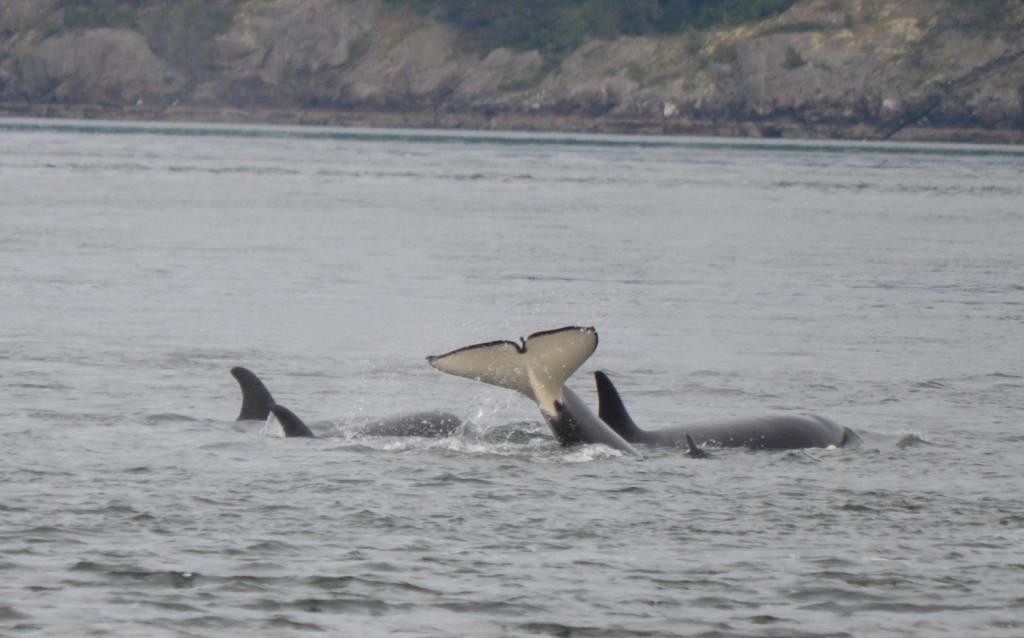 An orca tail slap