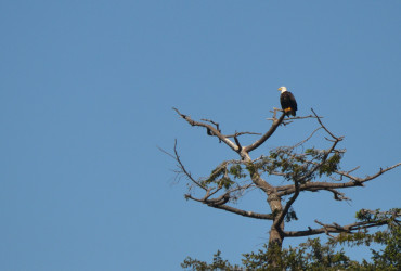 San Juan Islands Bald Eagle