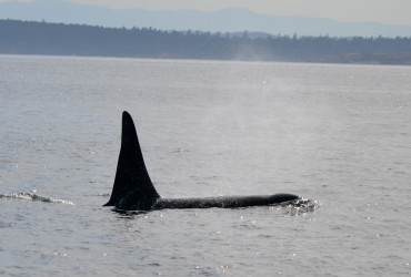 Orcas frequent the waters around San Juan Island