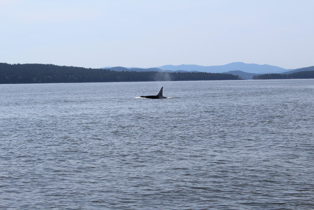 Transient Killer whale hunting alone