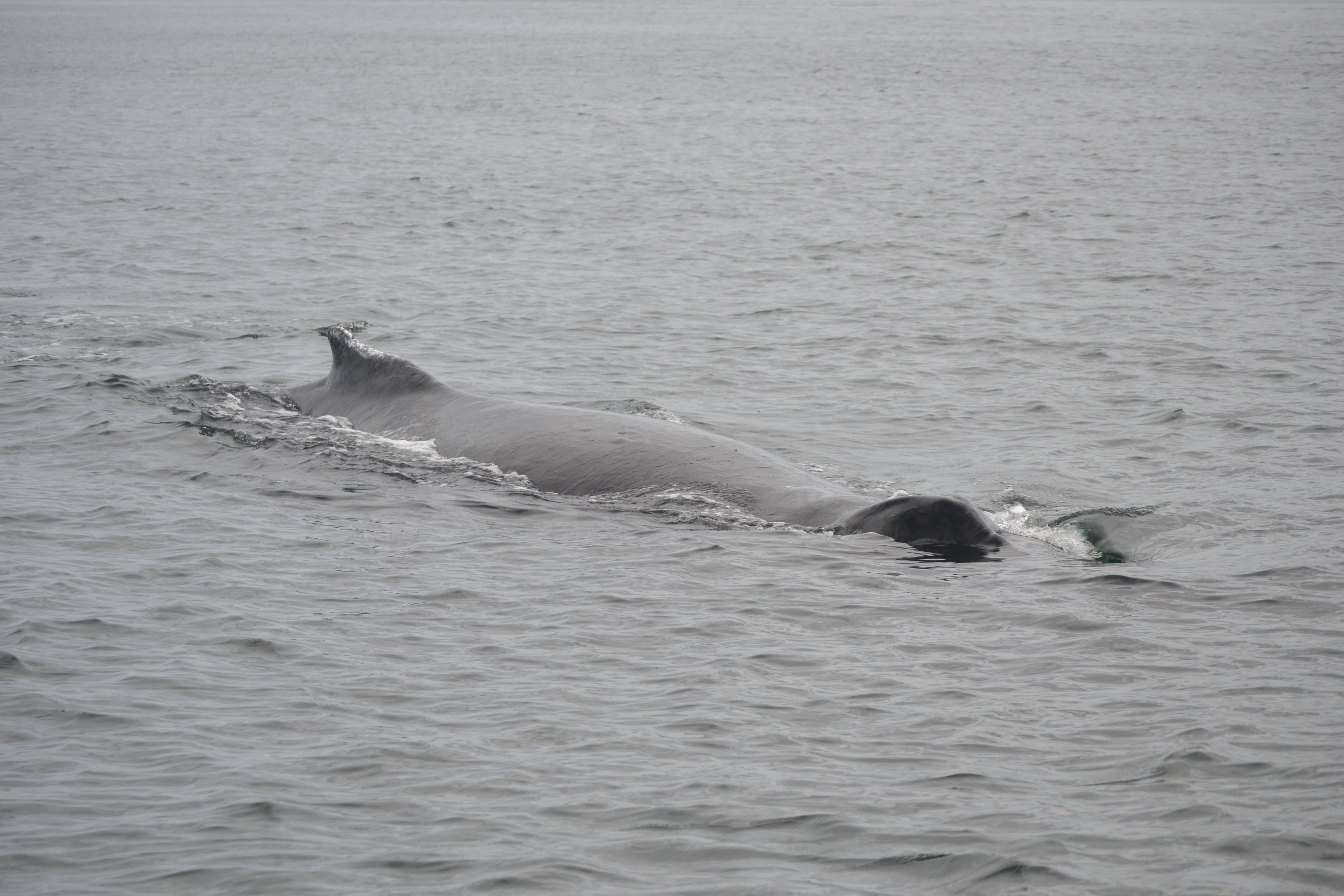 humpback whale at the surface breathing