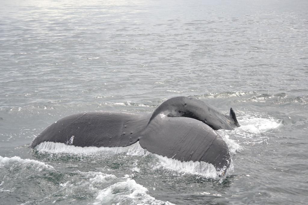 A humpback whale near San Juan Island