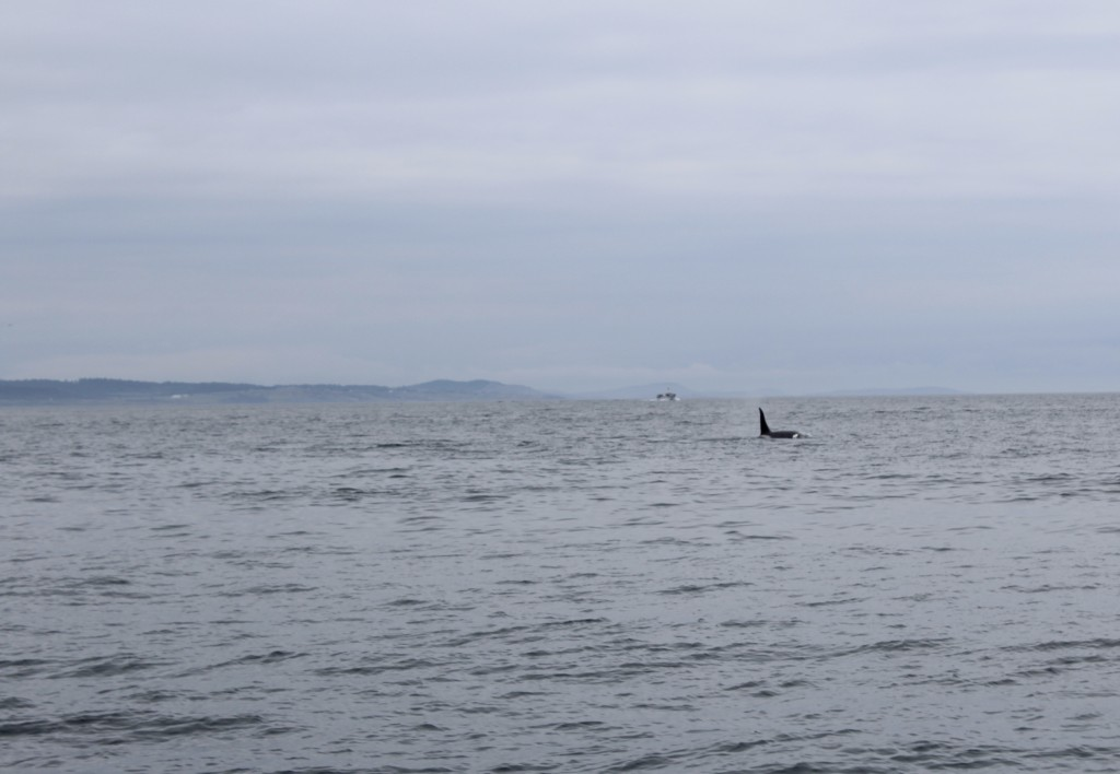 Transient Orca in Haro Strait