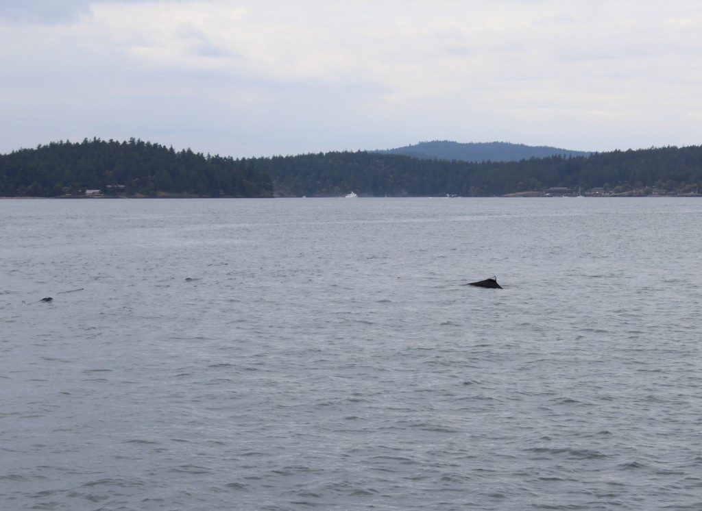 Dall's Porpoise fishing in San Juan Channel