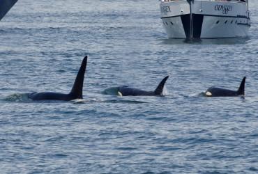 Transient orcas near Orcas Island