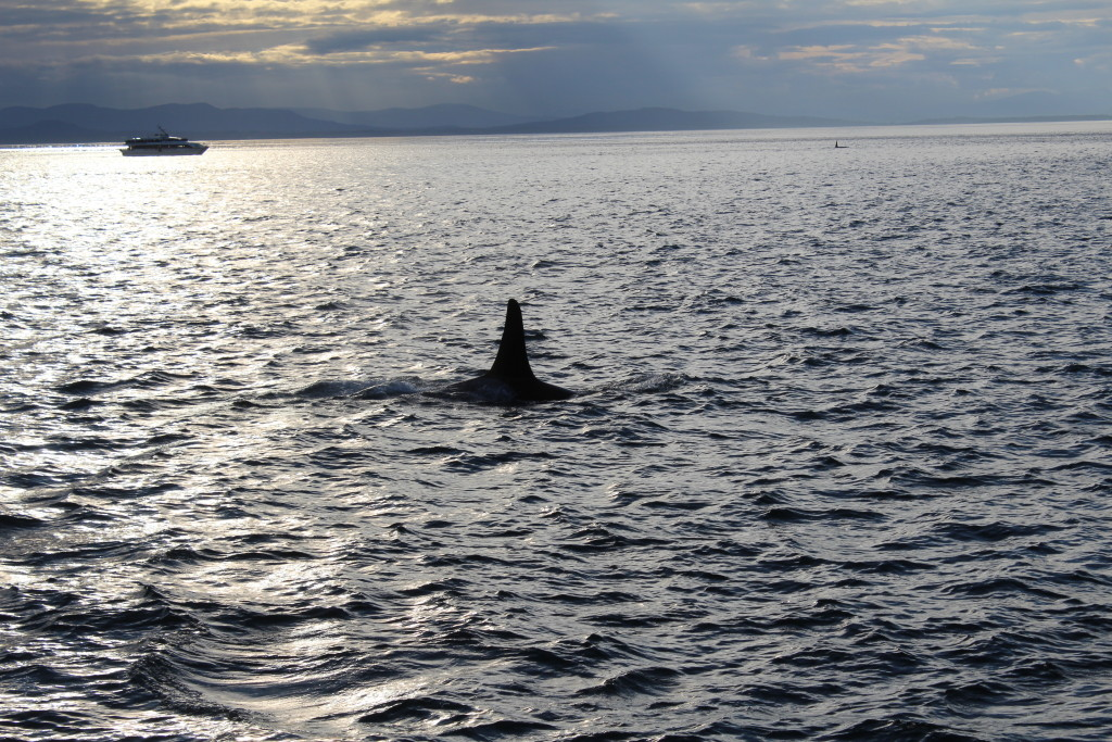 Southern Resident Orca Sunset