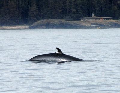 Multiple minke whales at Salmon Bank