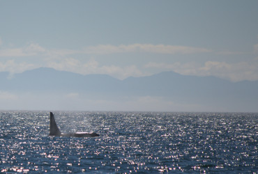 Male killer whale surfacing
