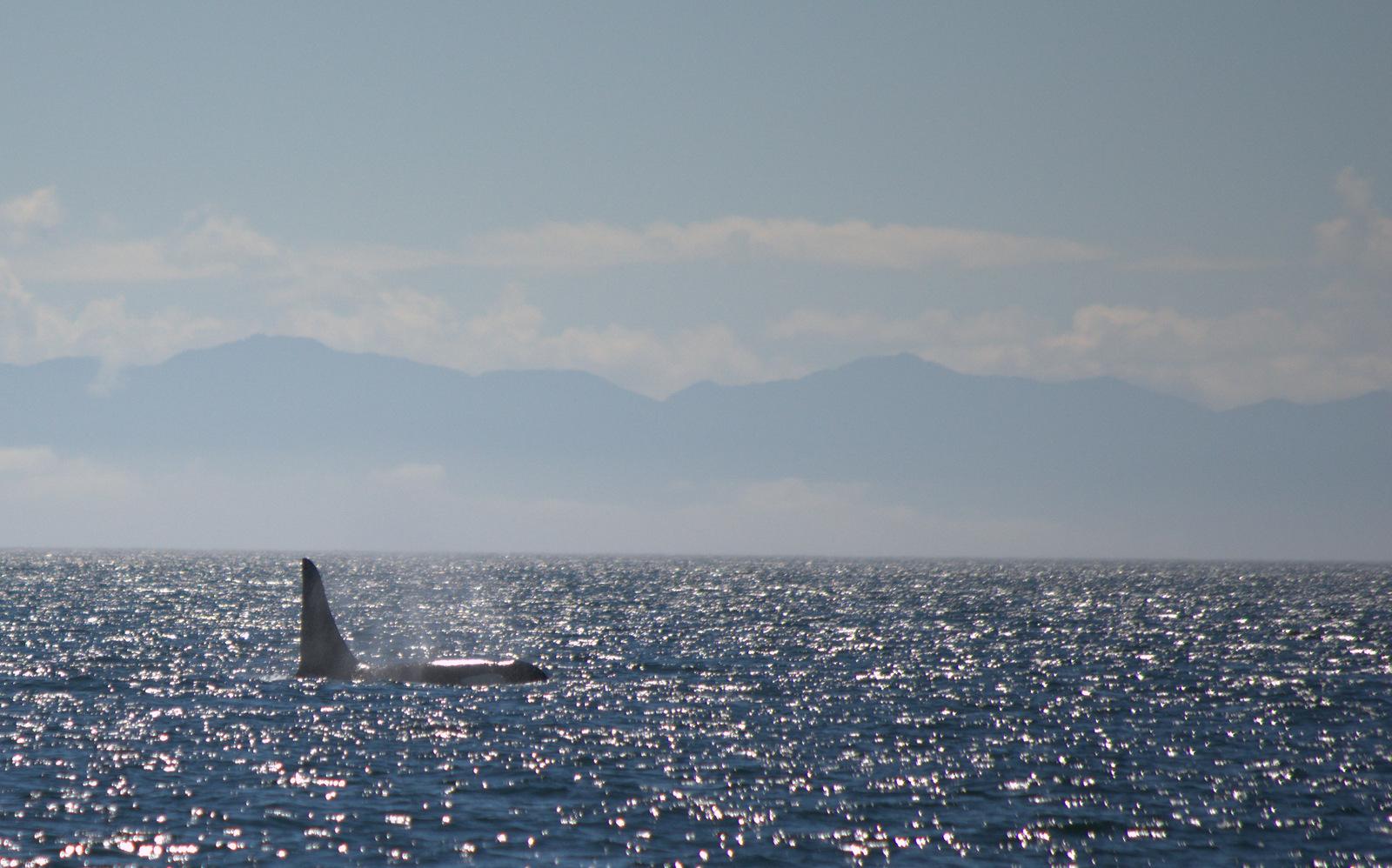 Male killer whale surfacing