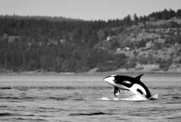 Breaching killer whale