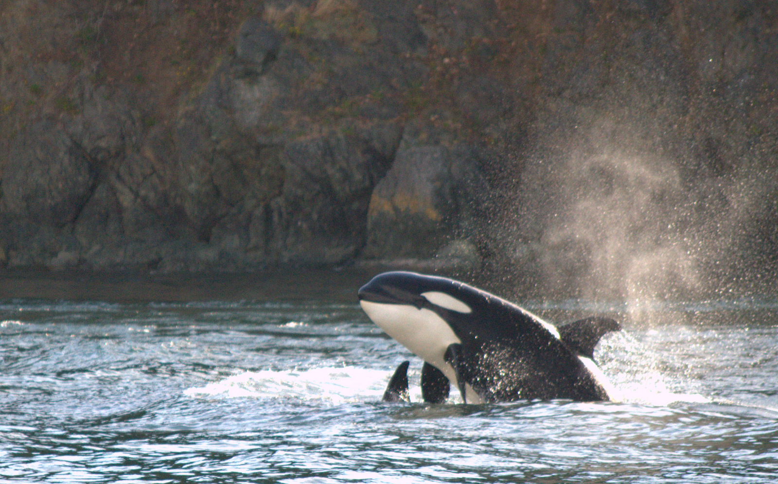Transient orca belly flop