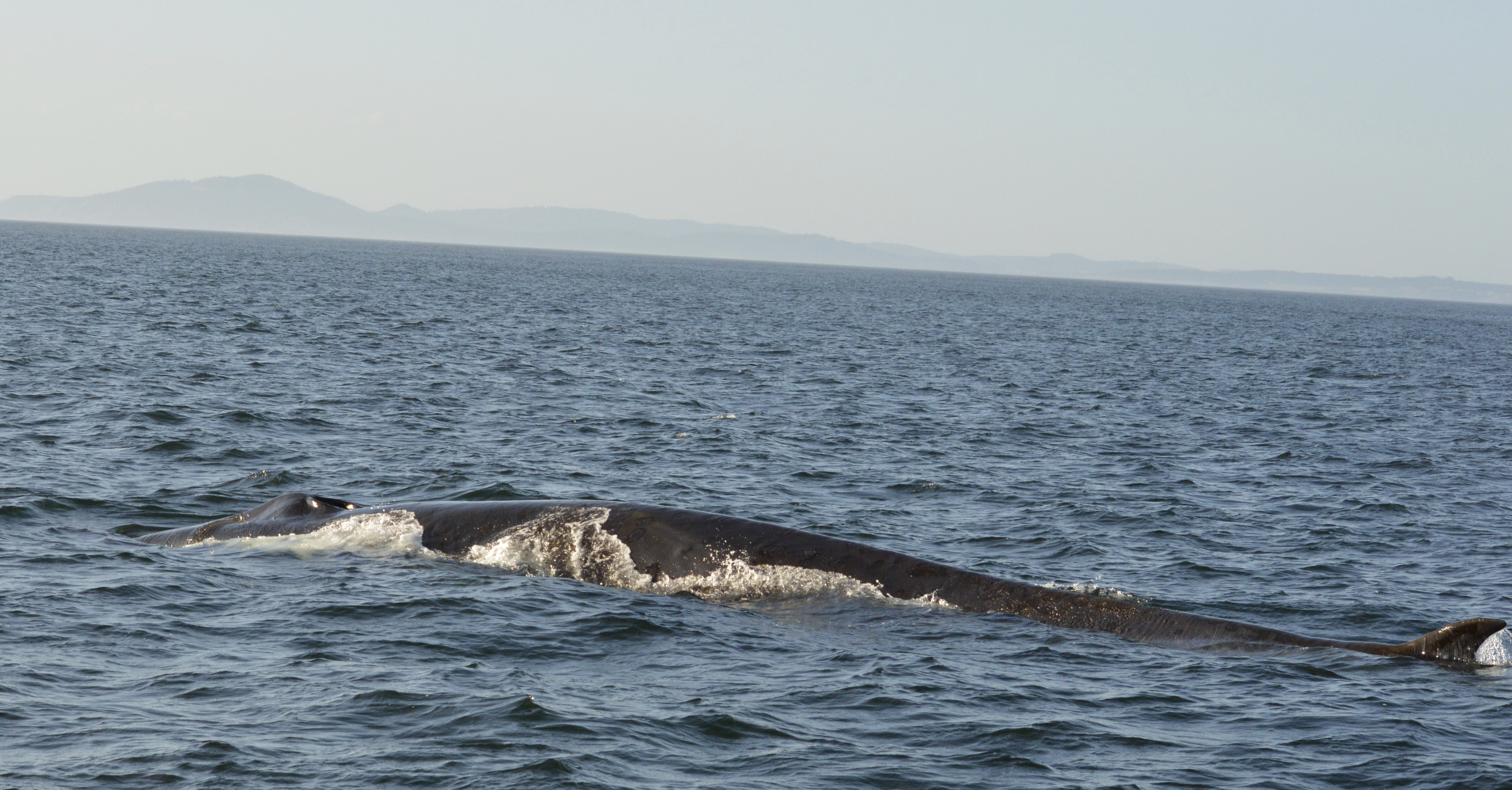 Finally, my first fin whale!