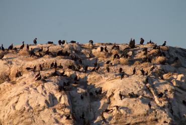 2016:8:24 530SL cormorant nesting site on mandarte island SC