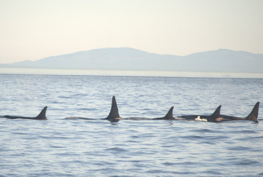 Southern Resident Orcas Sleeping