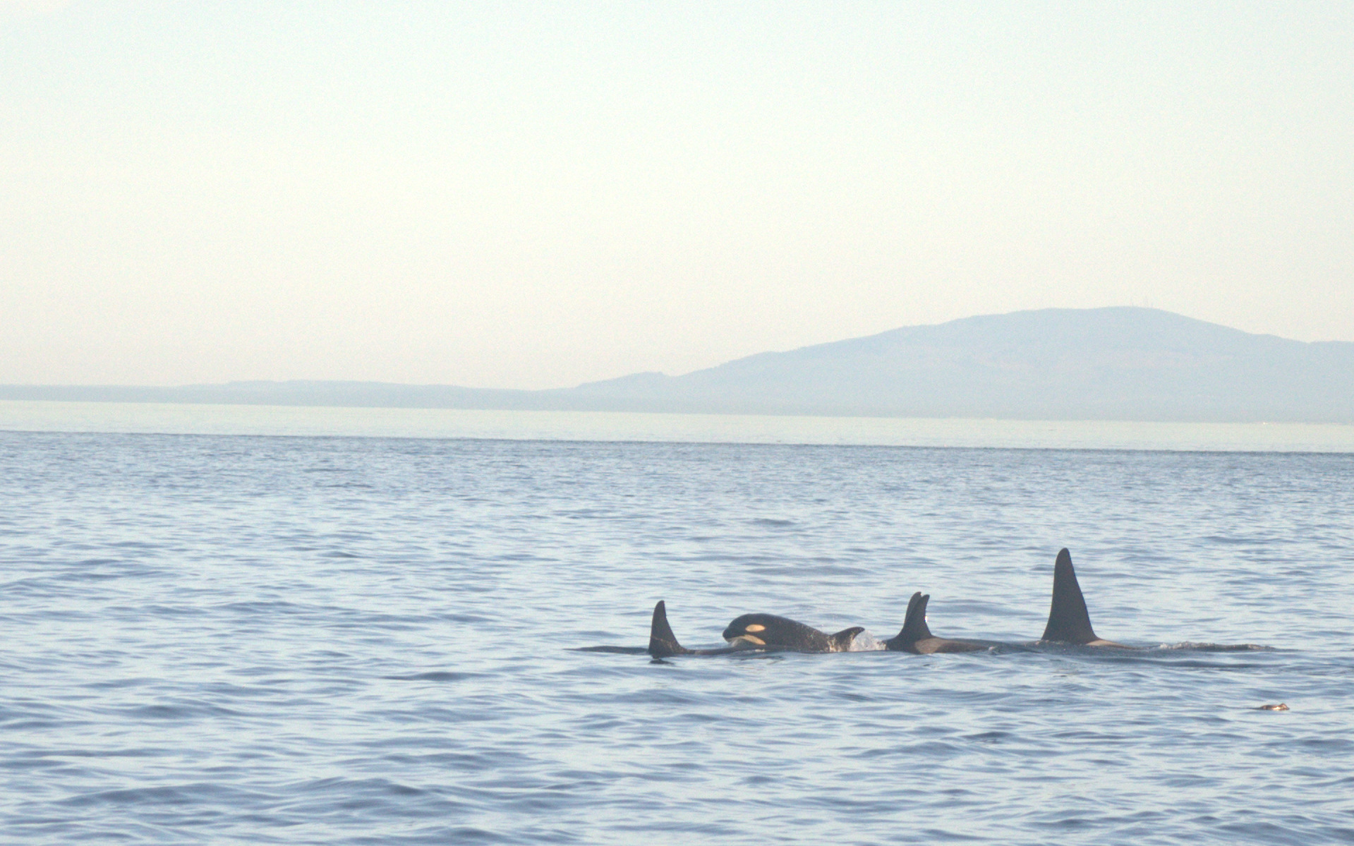 orca calf