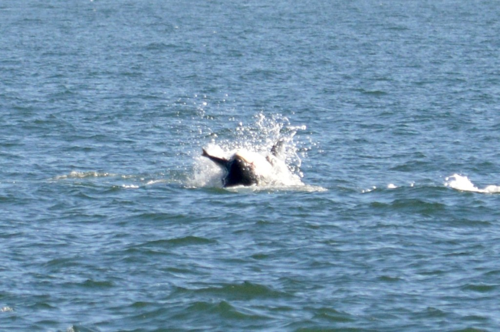 K33 Tika flipping on to his back with a salmon in his mouth.