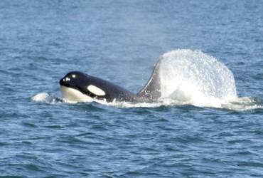 Orcas near Friday Harbor