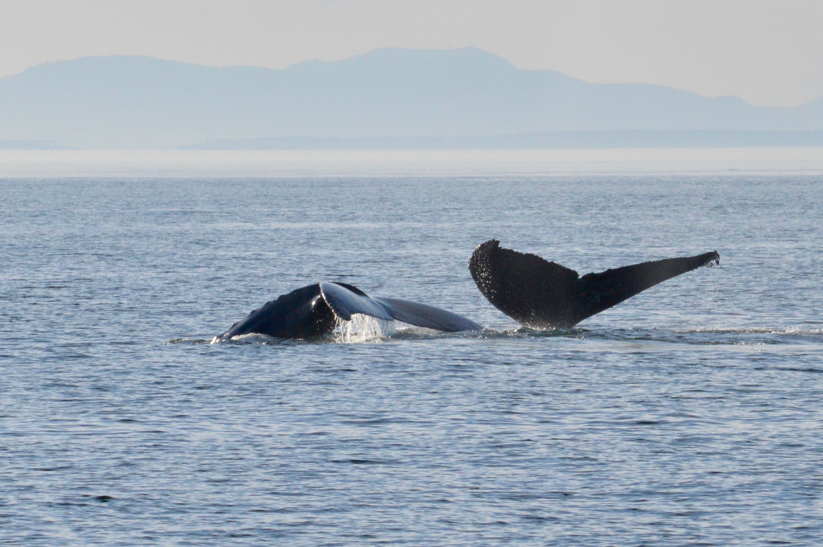 Whales Spotted: Humpback Whales in the Salih Sea