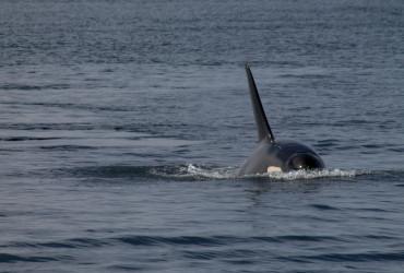 whale surfacing san juan island