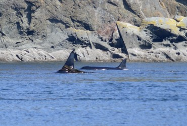 Kelping Bigg's orca