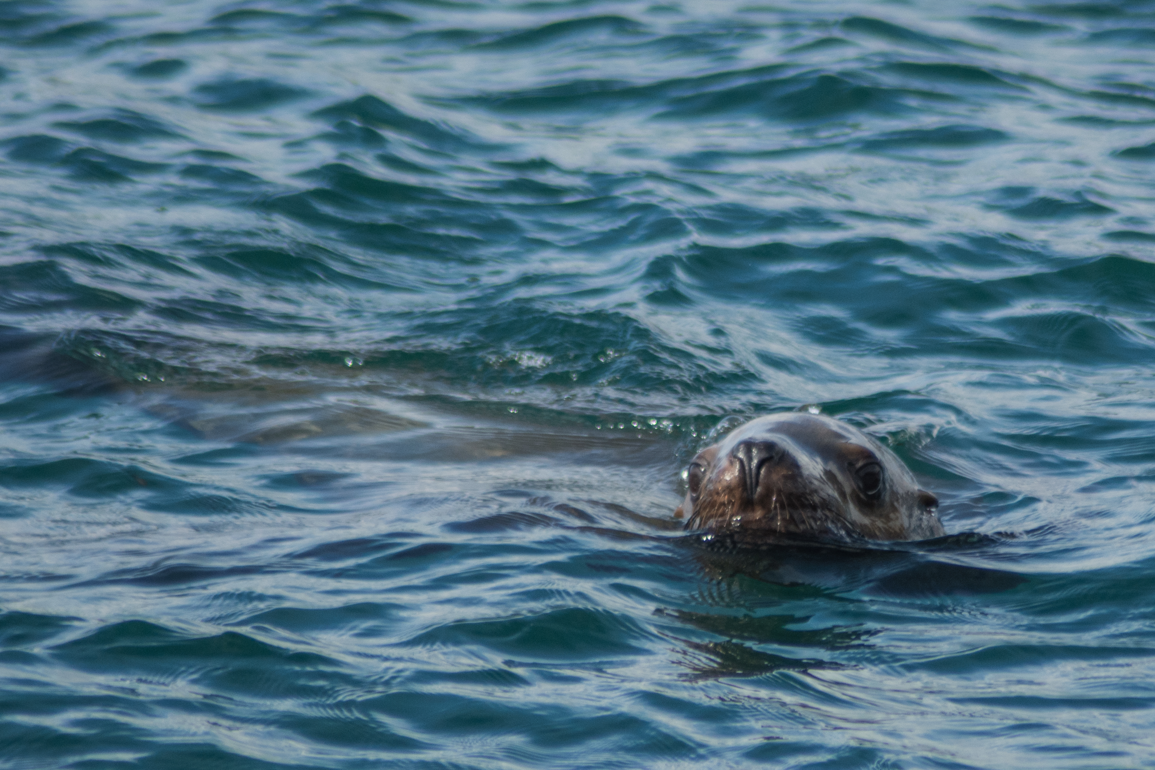 Northern Sea Lion at the surface