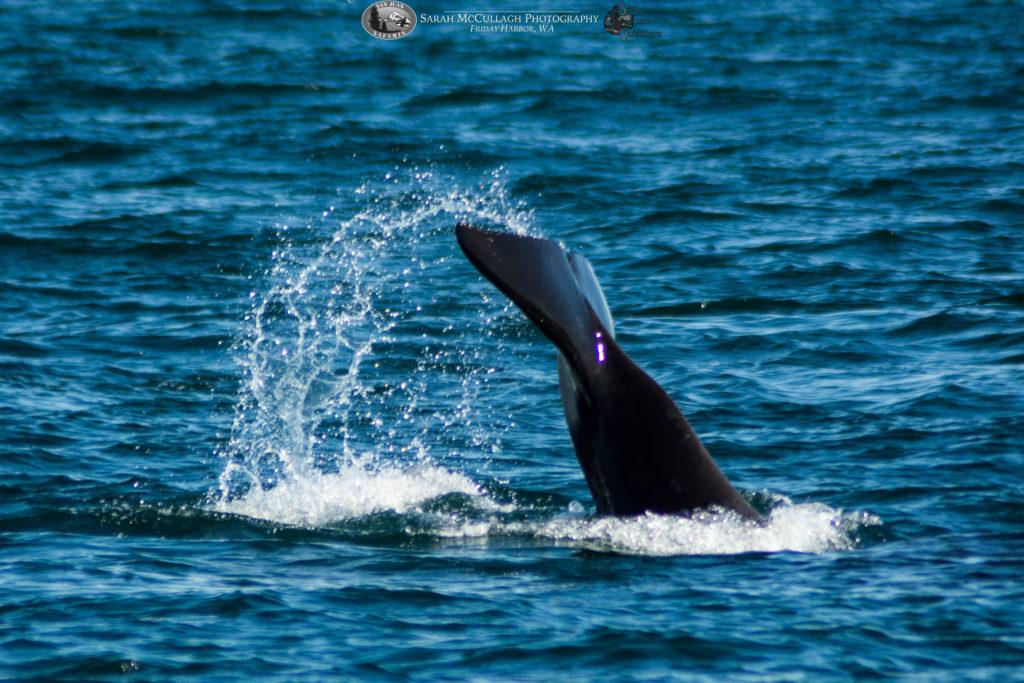 Tail lobbing Orca J47