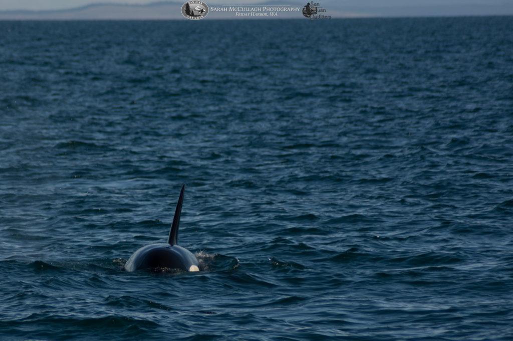 Killer whale J42 surfacing