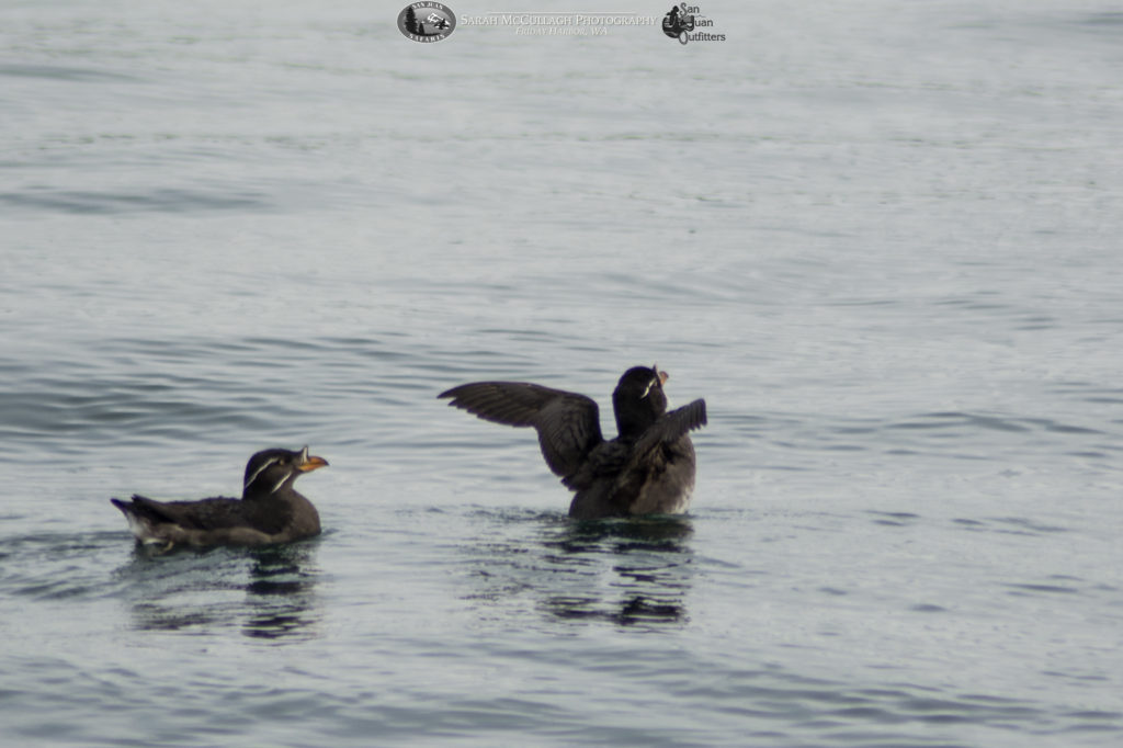 Rhino auklets at the surface