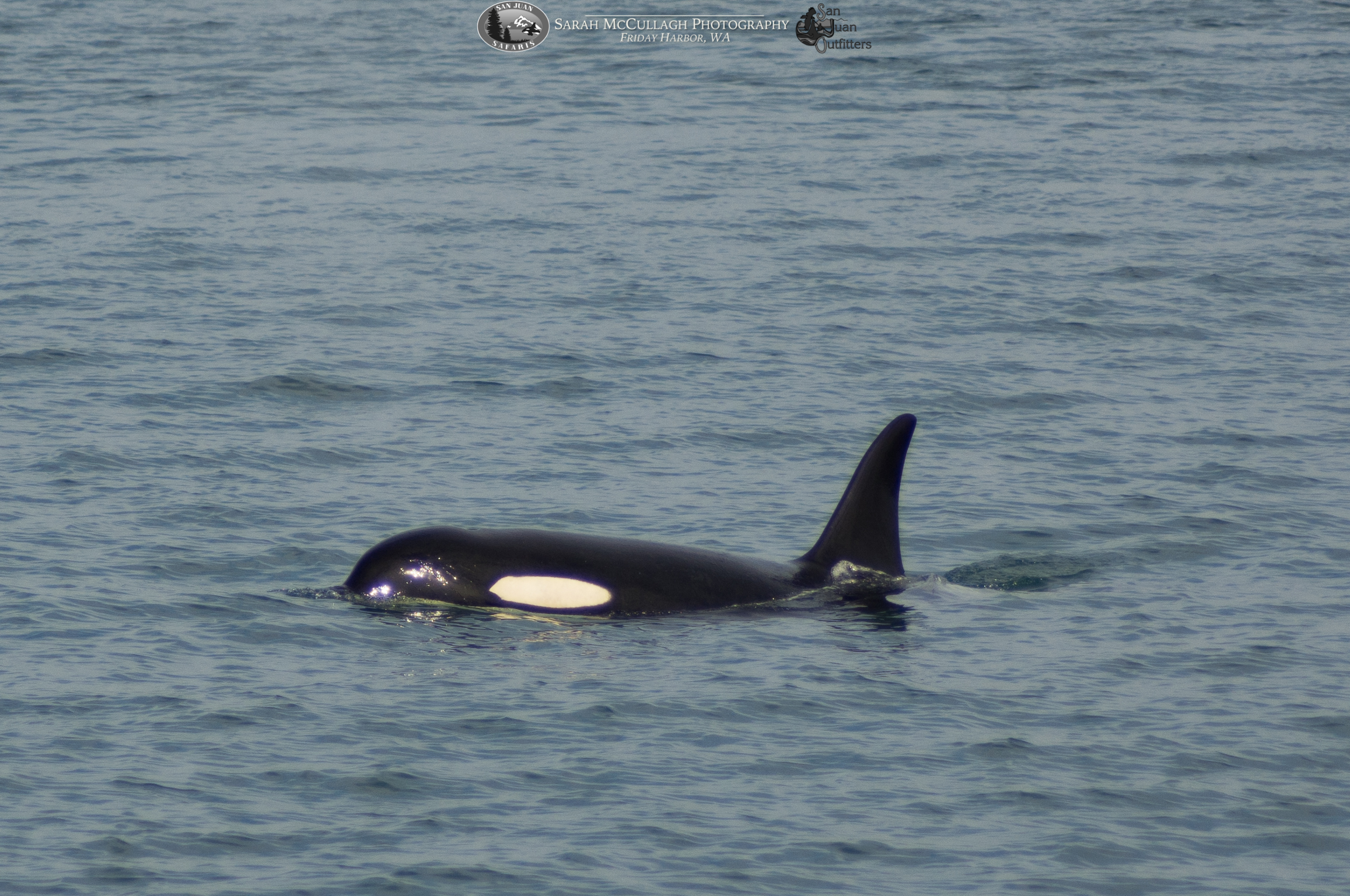 Welcome Back to the San Juan Islands, Southern Resident Orcas!