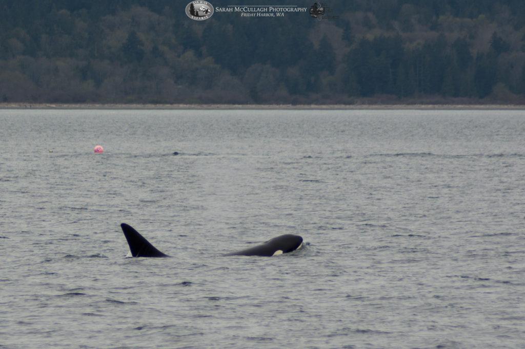 orca whale stalks his prey