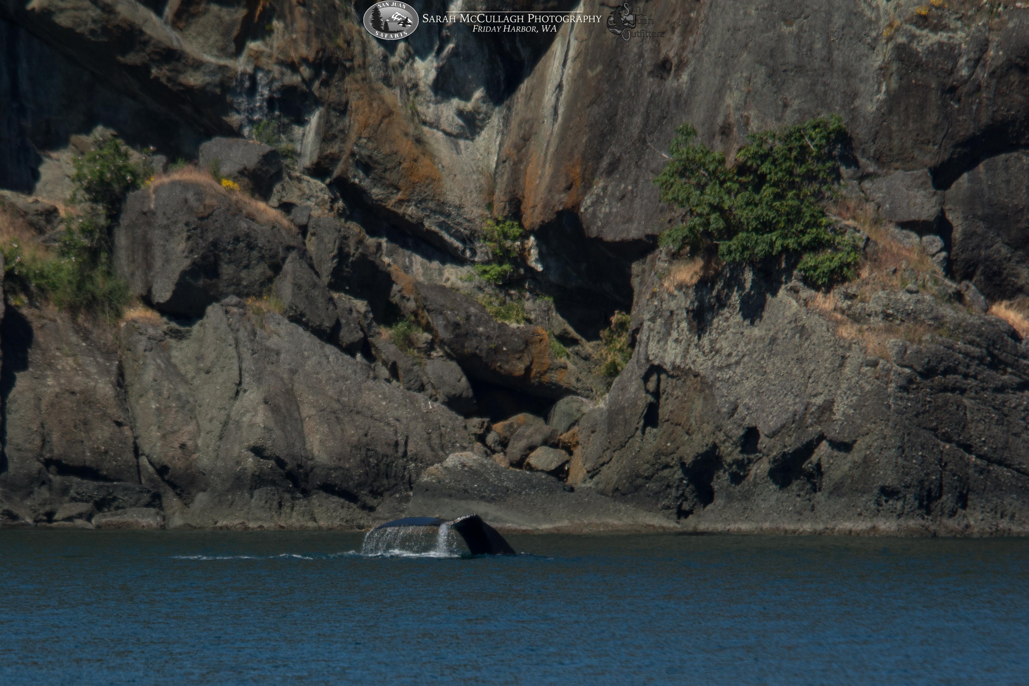 Humpbacks and Wildlife Abound in the Salish Sea
