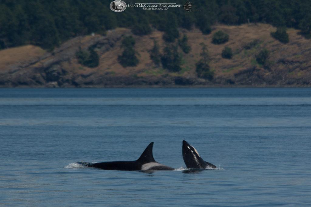 Orca Calf Half breach