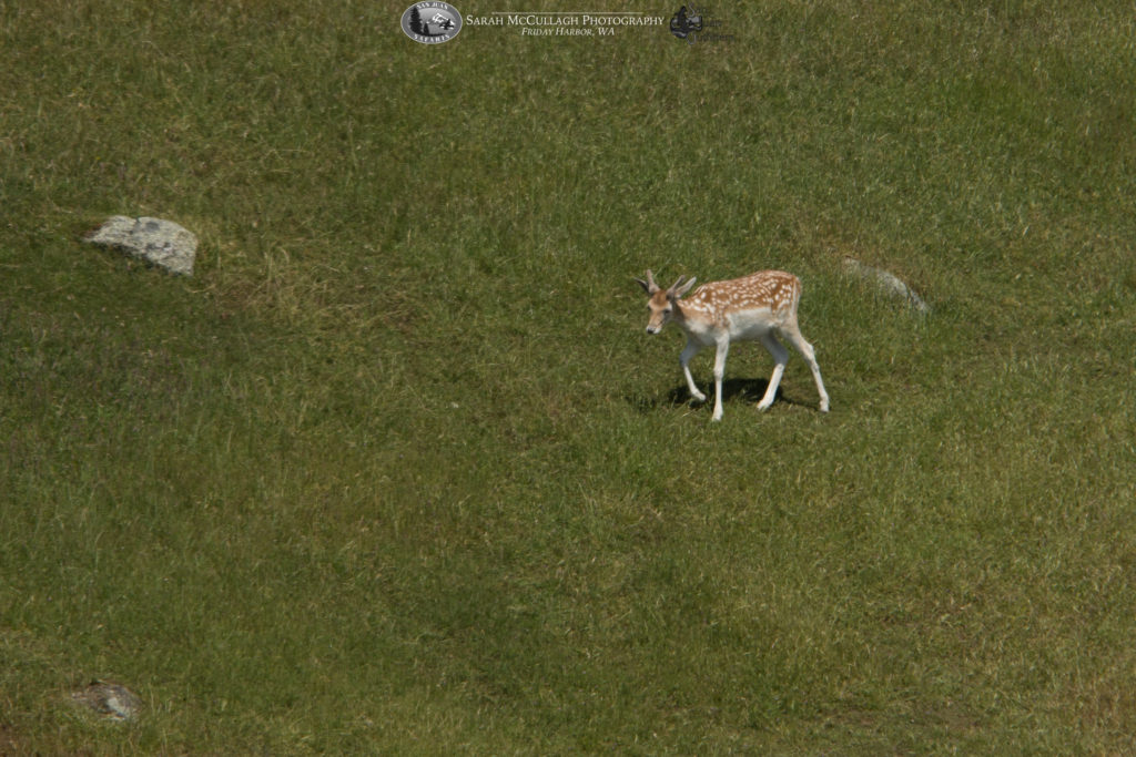 Spieden Island Fallow Deer