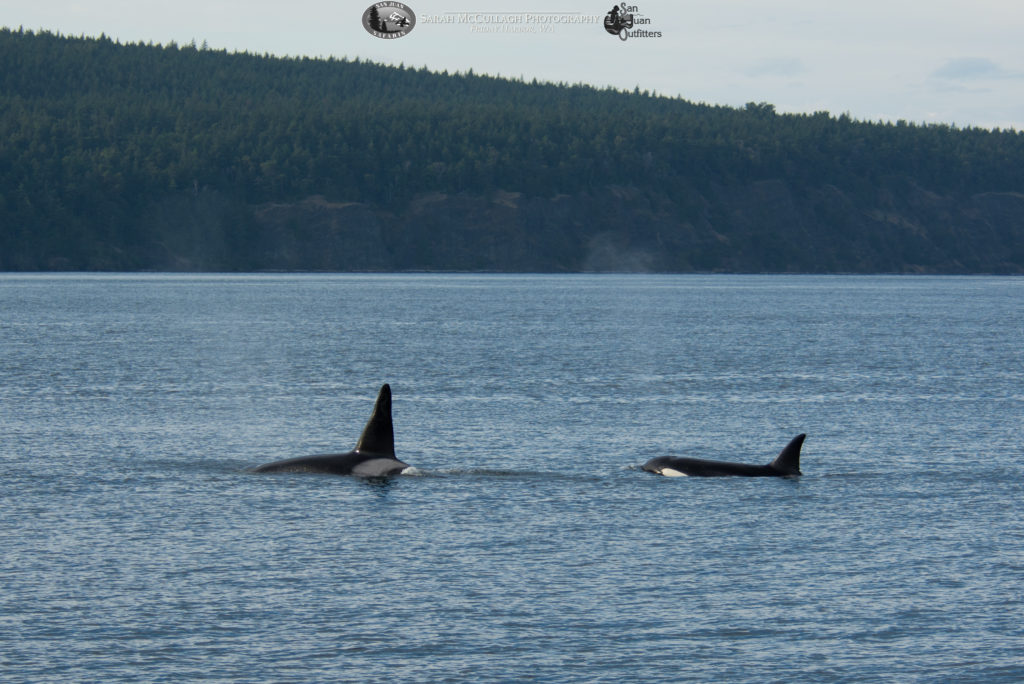 Orca whales and Orcas Island